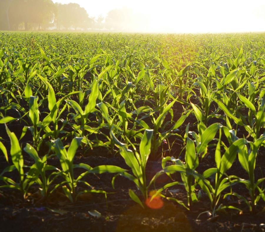 agricultura cultivos
