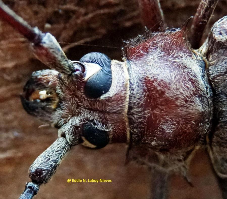 escarabajo barrenador gigante