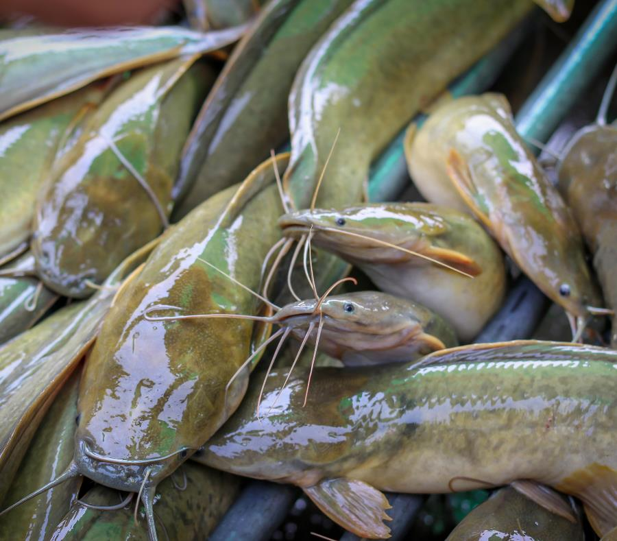 pez gato africano Clarias gariepinus