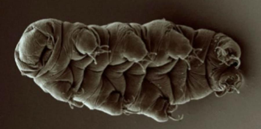 criatura tardigrado