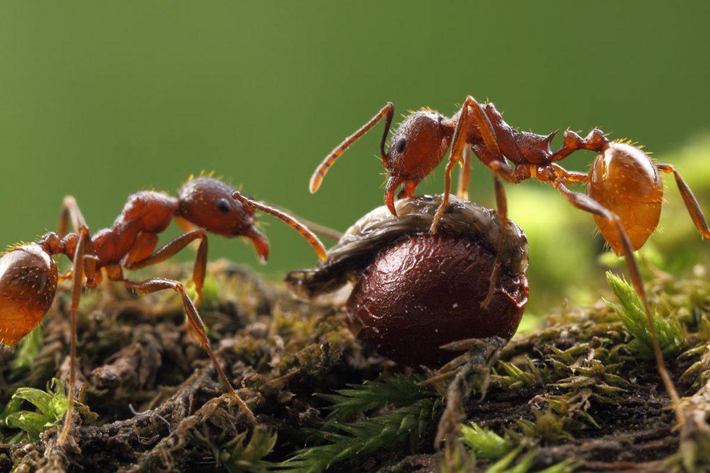 Reforestadores hormigas