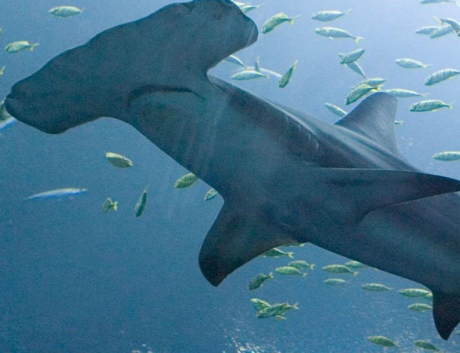 tiburon martillo galapagos ecuador