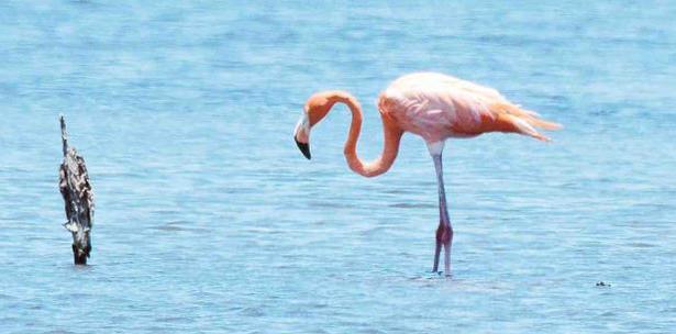 Pinky el flamenco de Camuy