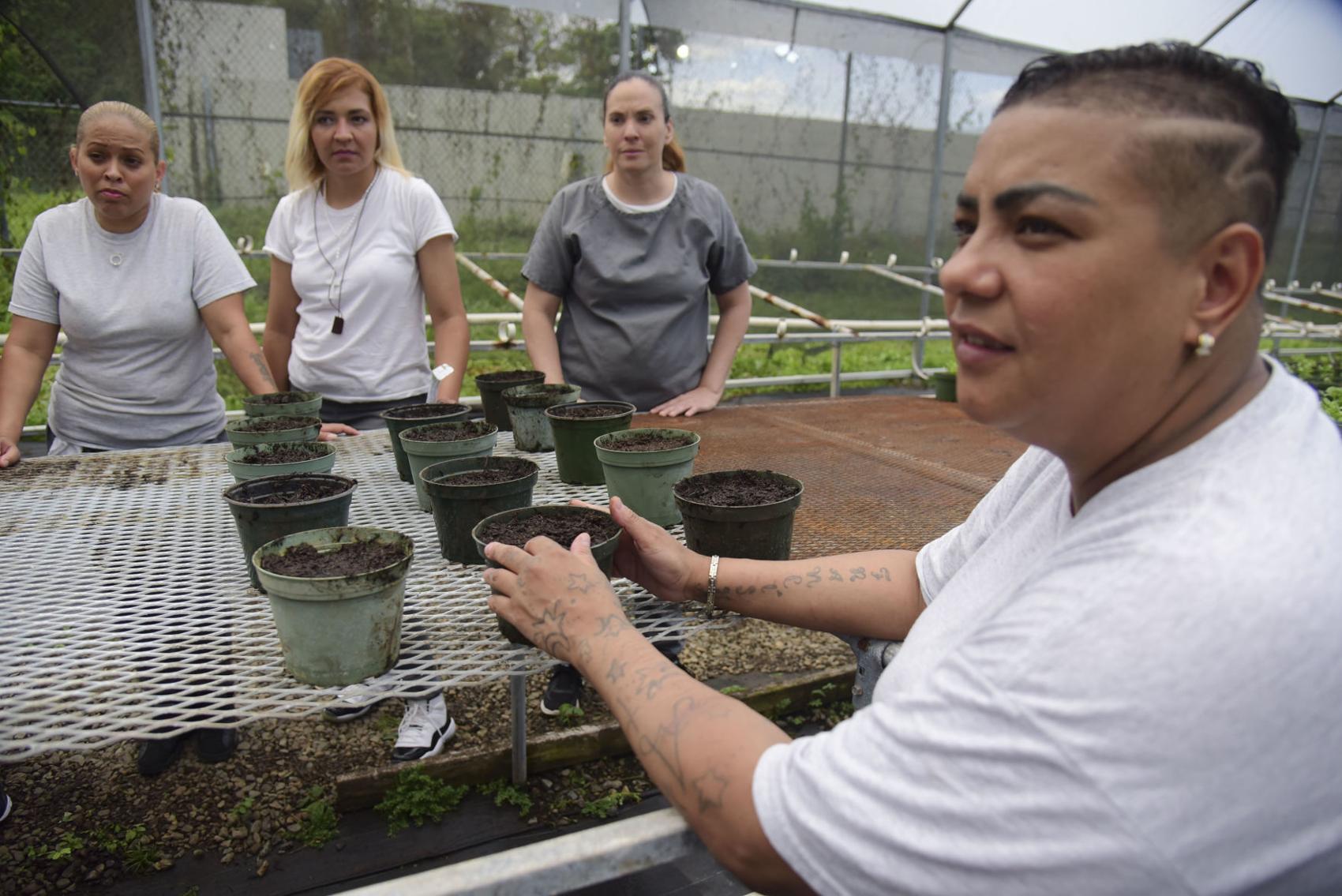 programa de siembra de girasoles en Bayamón
