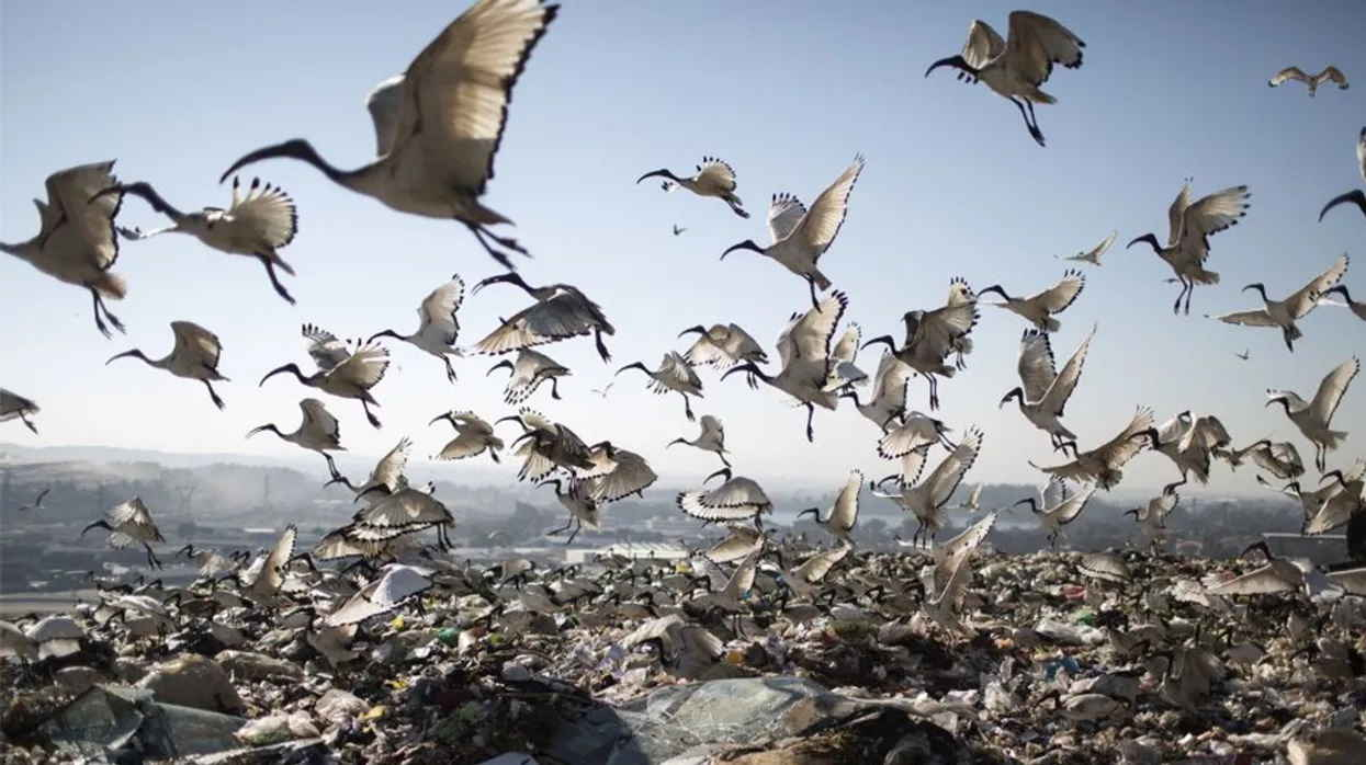 Birds scavenging the waste at Robinson Deep landfill