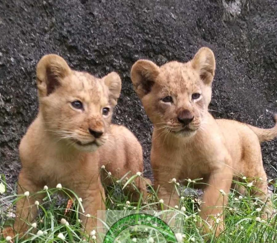 Chad Malawi cachorros leon zoologico