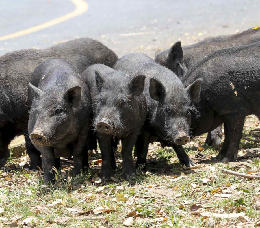 cerdos vietnamitas en San Juan