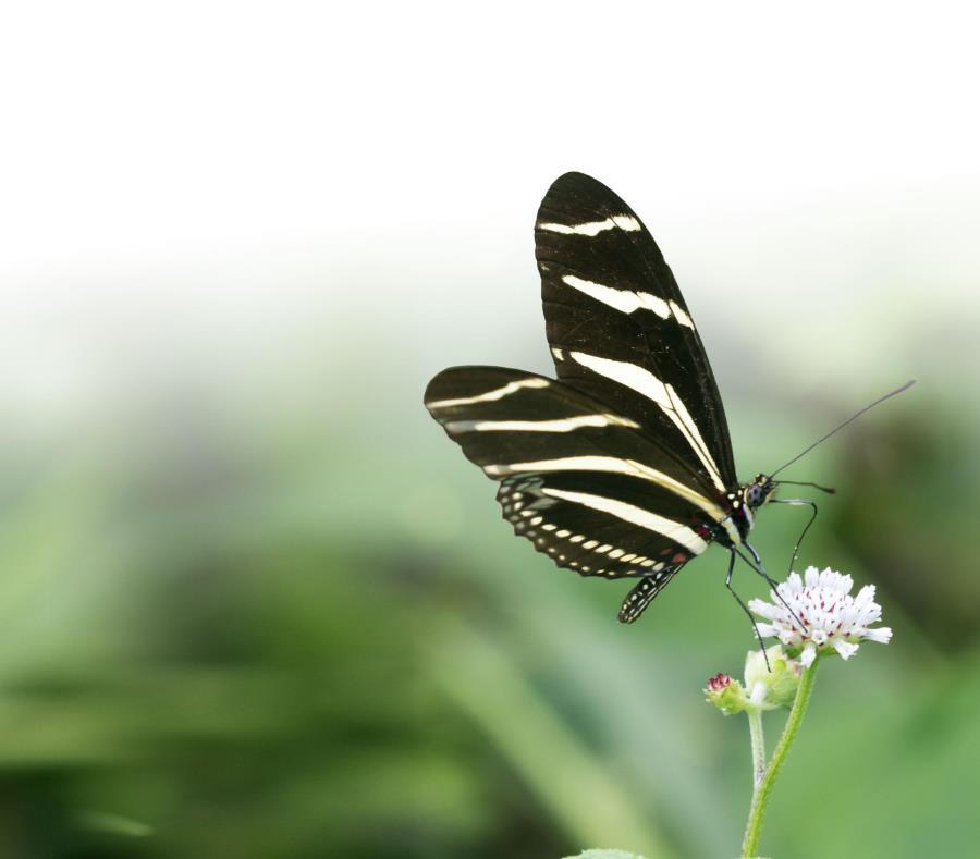 mariposa cebra nativa de Puerto Rico