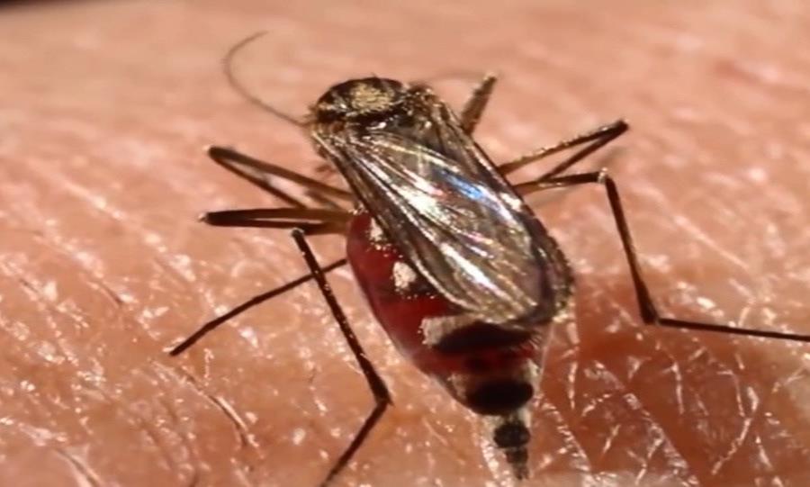 mosquito Aedes aegypti dengue