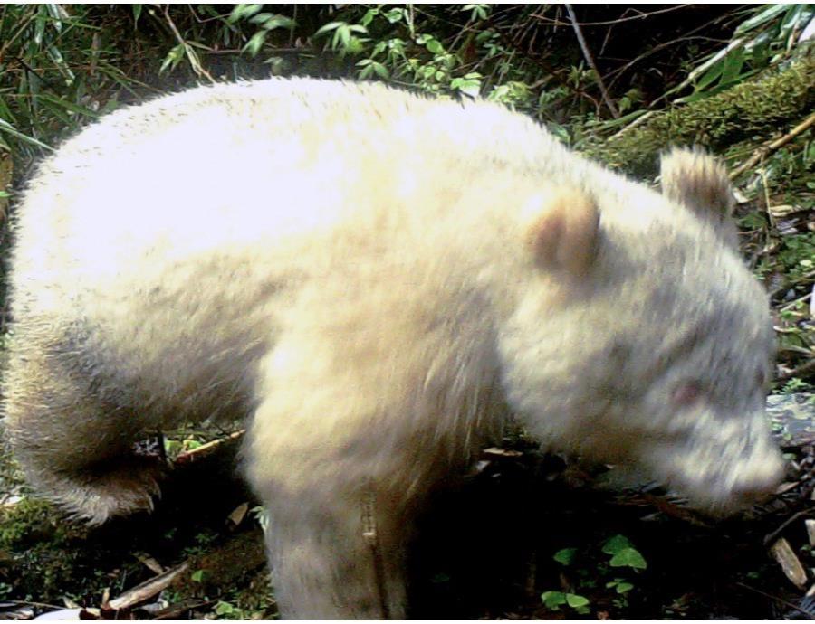 oso panda albino reserva China
