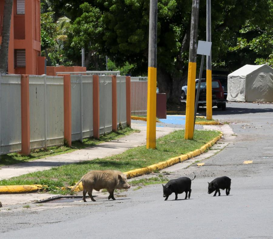 proliferacion cerdos vietnamitas