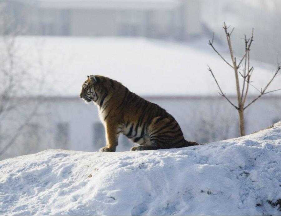 tigre hielo