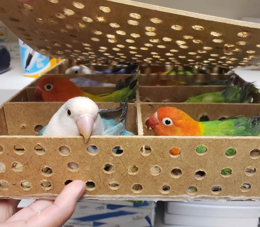 32 aves vivas en equipaje