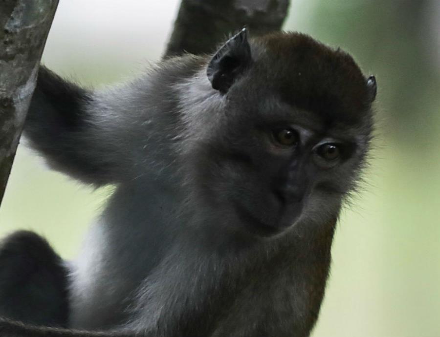 7 especies monos peligro extincion