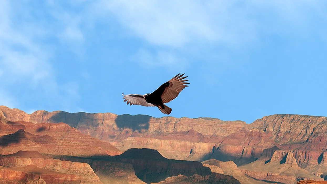 California Condor Gran Canyon