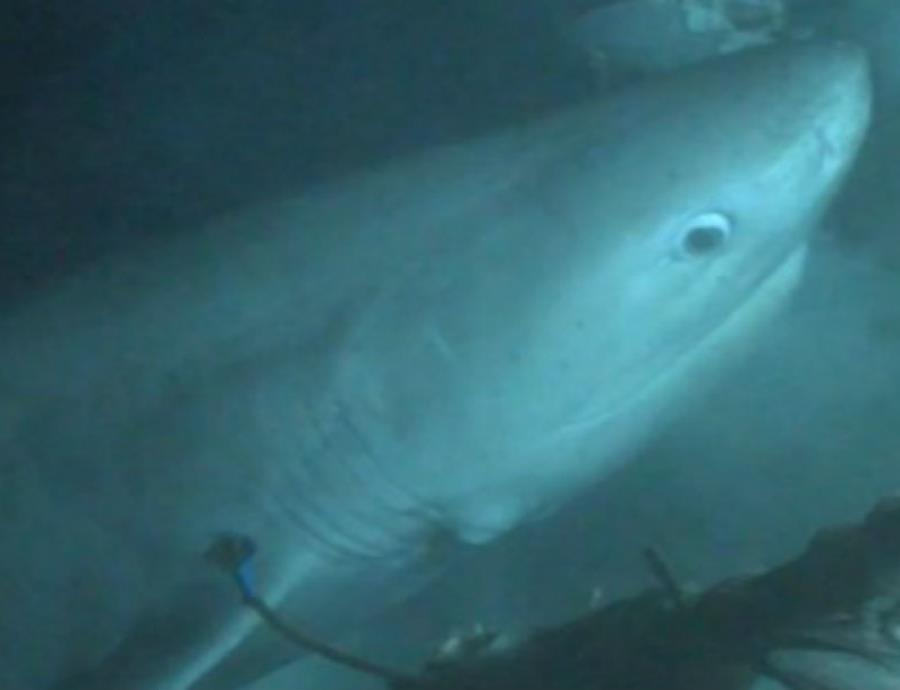 Hexanchus griseus tiburon de peinetas