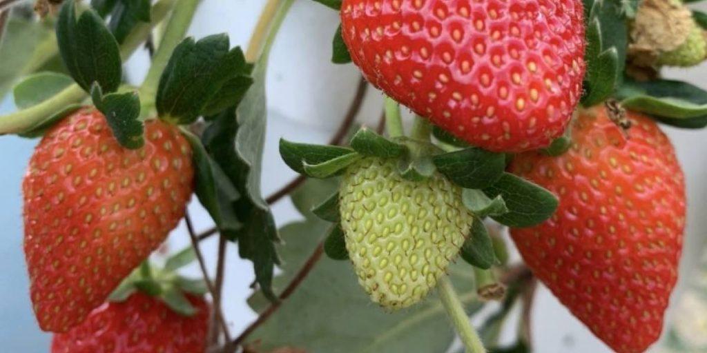 recogido de fresas
