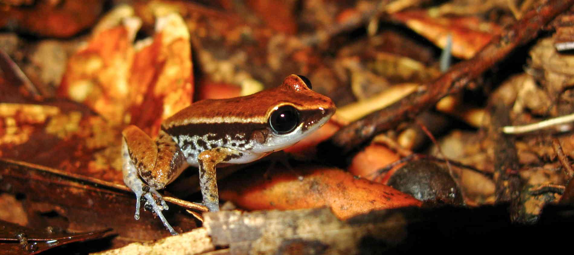 Caoba-Eleutherodactylus-richmondi2-Amphibians