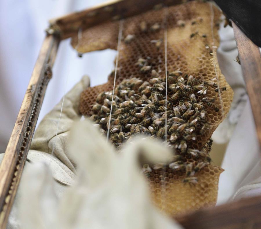 abeja apicuntura