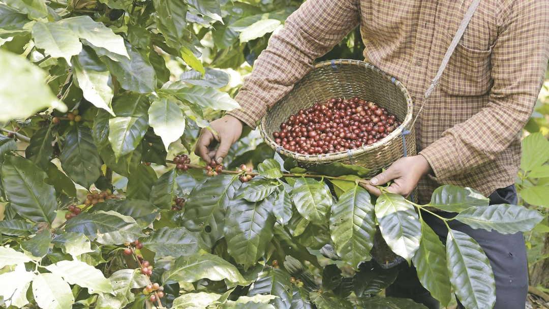 cafe cosecha