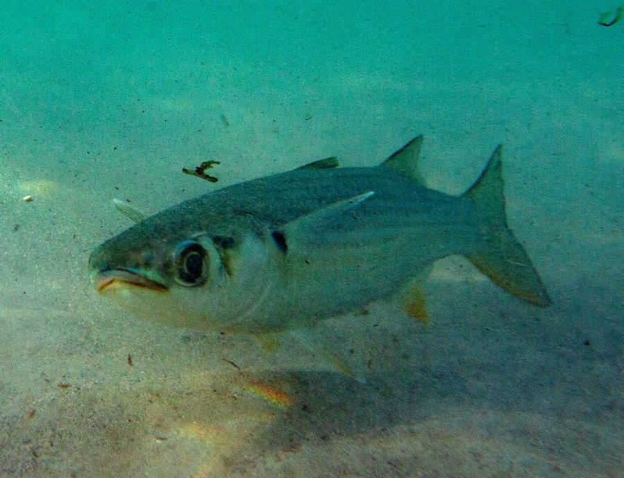 pez bigmouth buffalo longevo