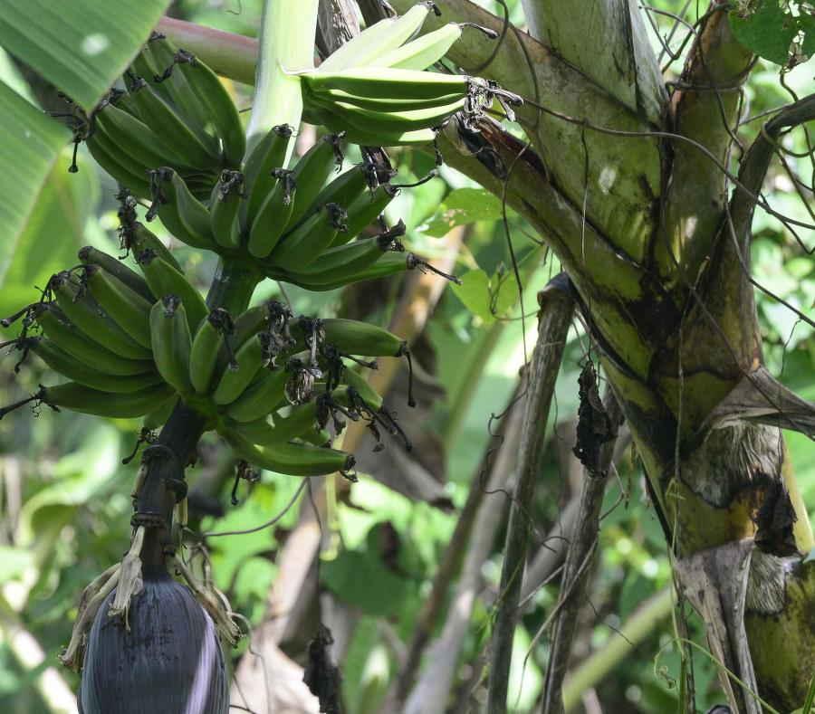 plantaciones de platanos y guineos