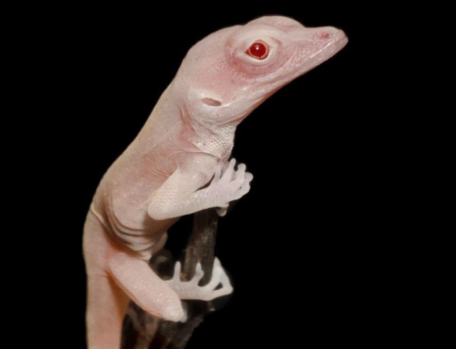 primeras lagartijas albinas con manipulacion genetica