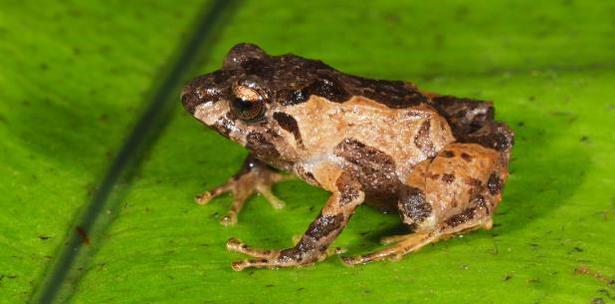 ranas descubiertas en Ecuador anfibio