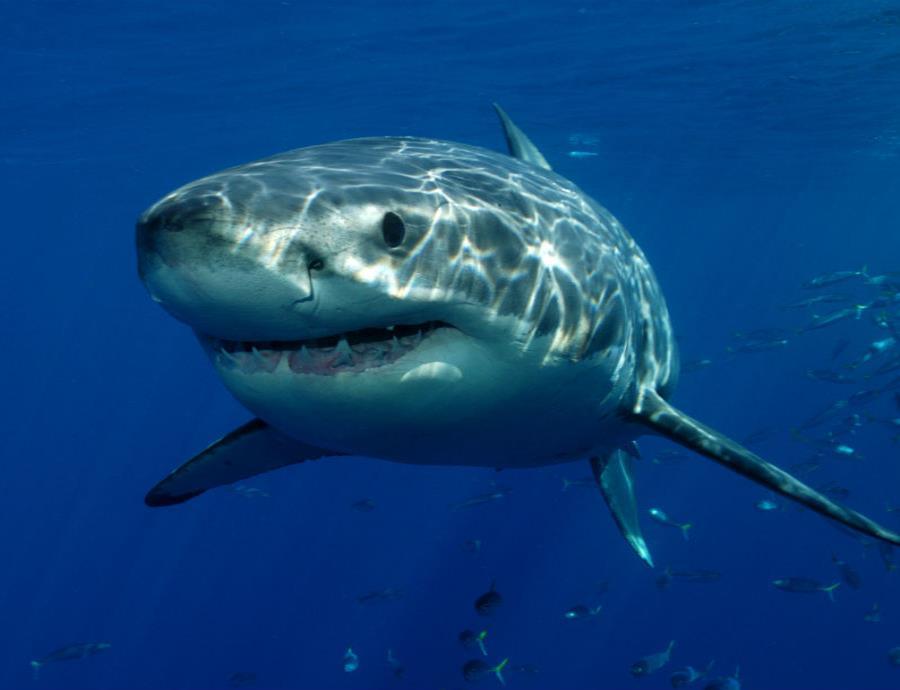 Programa de Observacion de Tiburones