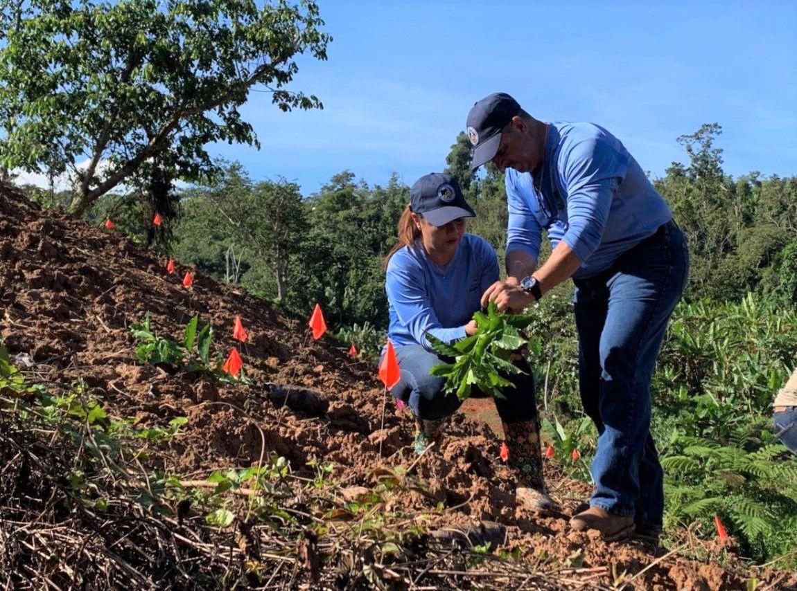 arboles de cafe en haciendas de Adjuntas