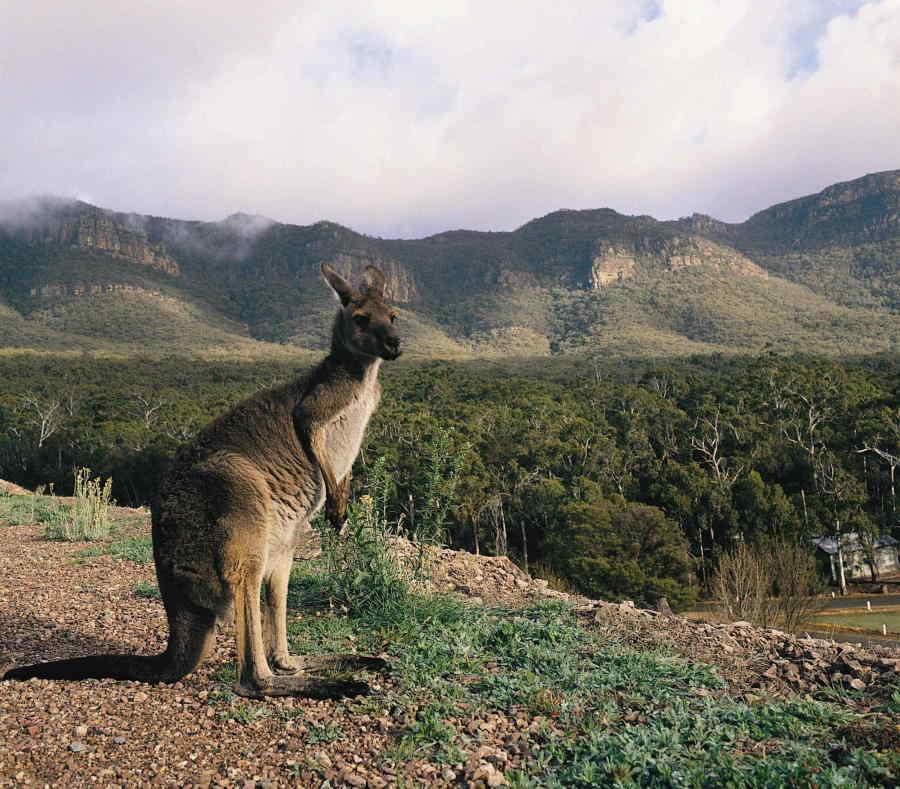 marsupiales Kanguros