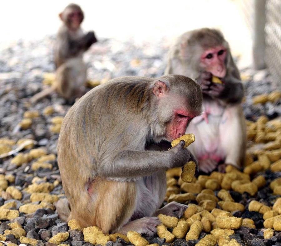 Monos En El Centro De Primates Del Recinto De Ciencias Medicas De La UPR