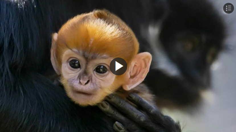 Bebe Langur Monos Extranos Peligro Extincion