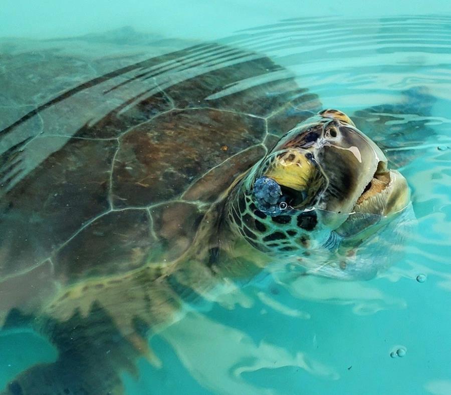 Tortuga Verde Especie Protegida