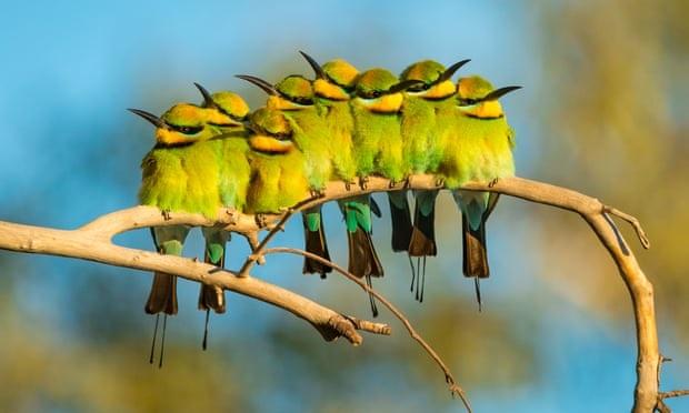 Aves Nativas De Australia