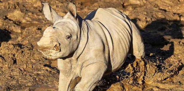Future Rinoceronta Blanca Zoologico San Diego