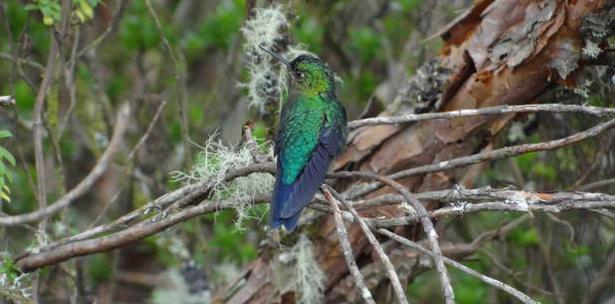 Zamarrito Pechinegro Ecuador Montana Quito Bosque Reserva Yanachocha