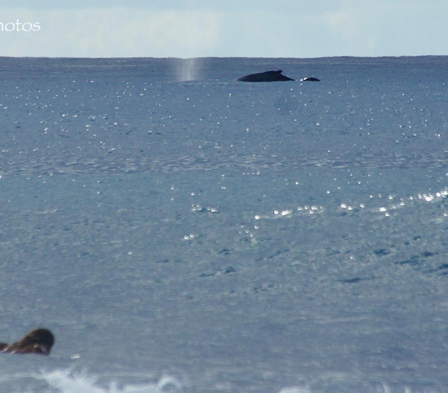 Ballenas Jorobadas En Puerto Rico
