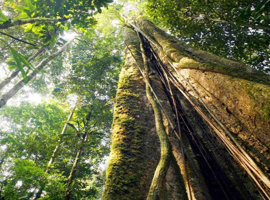 Arboles De La Amazonia