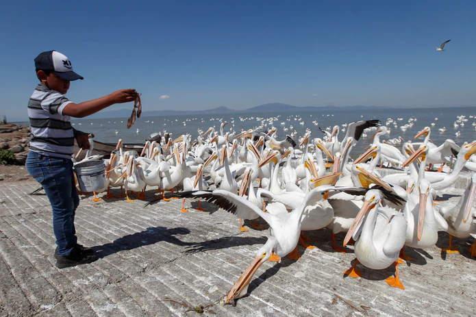 Pelicanos En Pueblo Mexicano