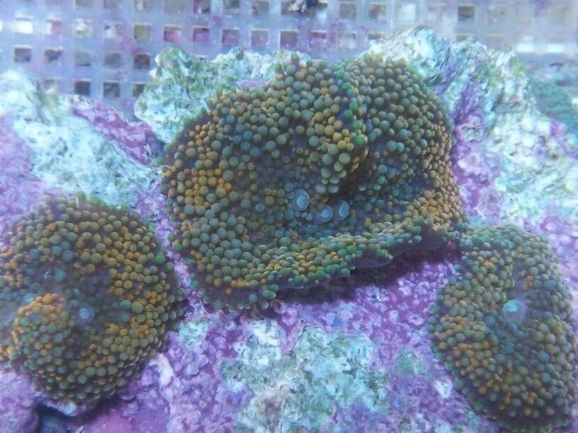 Los genus Ricordea son particularmente atractivos para los dueños de acuarios porque 'brillan' bajo luces ultravioletas que usualmente se usan en los acuarios de lujo. (Suministrada)