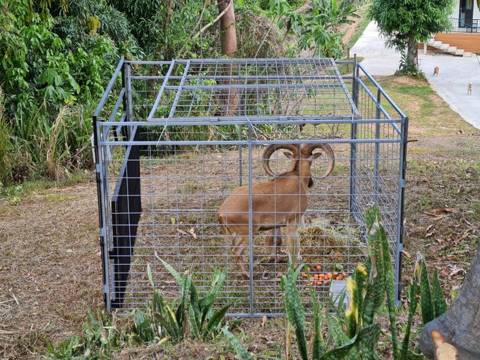 Capturan al arruí que se había escapado del Zoológico de Mayagüez
