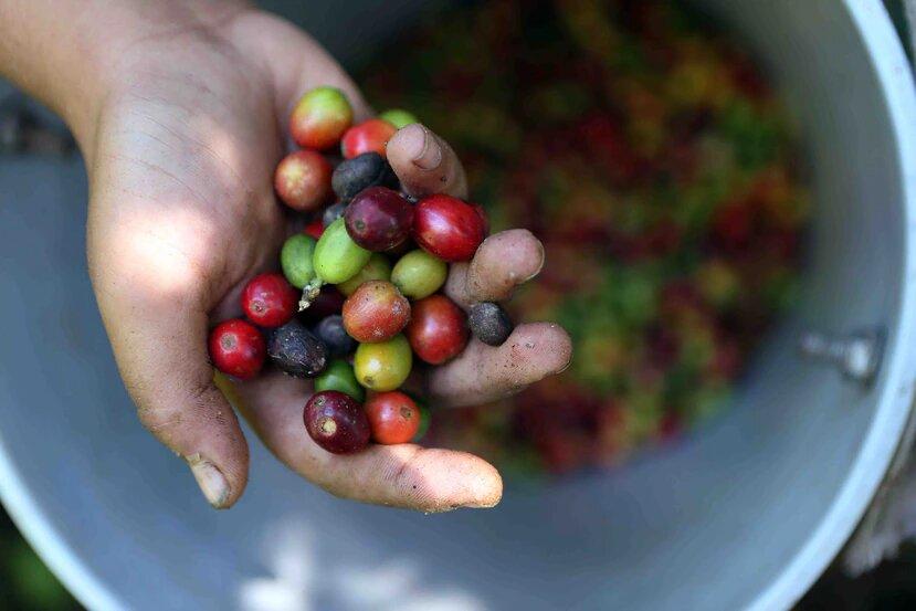 Urge mano de obra para recoger café de árboles que se sembraron tras el huracán María